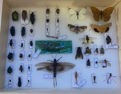 Teca entomologica completa di insetti